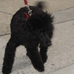 Peaches, 4 months, Miniature Poodle, 24th Street just east of our apartment